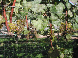 Late Season Bird and Deer Control in Vineyards – Grapes