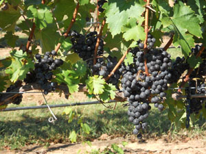 Cabernet Sauvignon. Photo by Sara Spayd, North Carolina State University.
