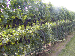 Development and management of 'Cabernet franc' on Scott Henry in Pennsylvania.