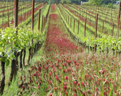 Image:Feature-Crimson clover cover crop small.jpg