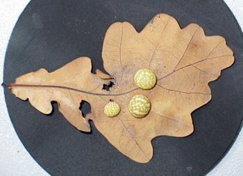 Gallfly galls on oak leaf