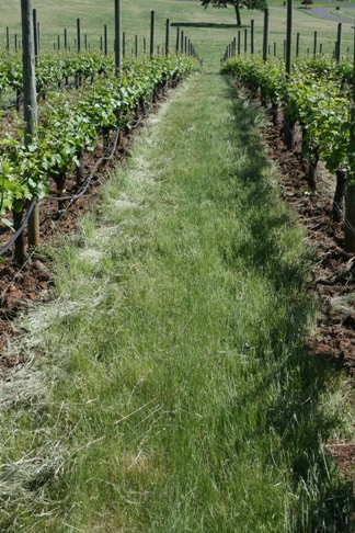 Overview Of Vineyard Floor Management Grapes