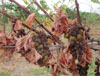 Cotton Root Rot