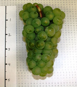 White Riesling grapes.