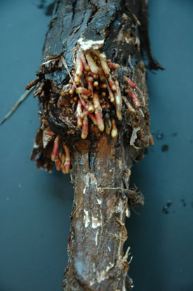 Aerial rooting caused by ringspot virus.