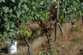 Ringspot virus in the vineyard.