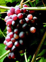 Saturn grapes. http://www.aragriculture.org/horticulture/fruits_nuts/Grapes/saturn.htm