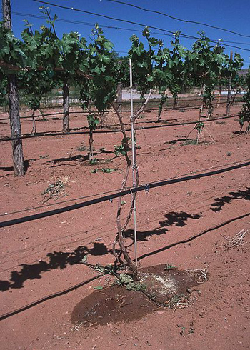Drip irrigation system in New Mexico vineyard.