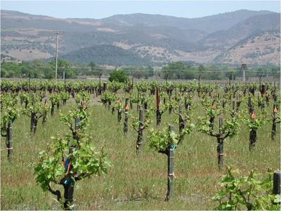 grape vine training systems