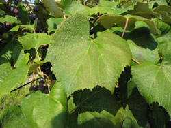Figure 3. Mild symptoms of blackleaf showing leaf discoloration. Photo by Lynn Mills, Washington State University.