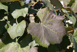 Figure 5. Severe symptoms of blackleaf. Photo by Lynn Mills, Washington State University.